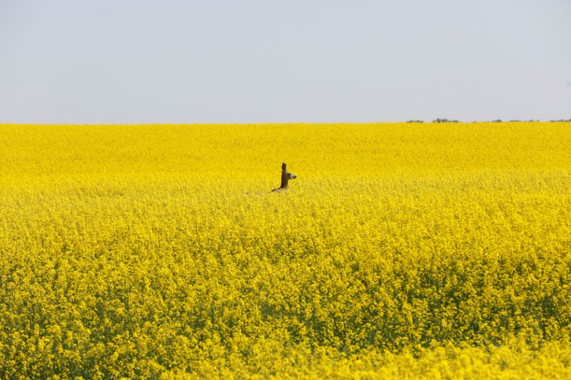 Canada turns to World Trade Organization over China's canola ban
